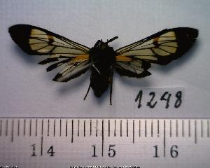 (Arctiinae sp. JAT07 - MMZ1172)  @12 [ ] CreativeCommons - Attribution Non-Commercial (2012) Mauricio M. Zenker UFPR
