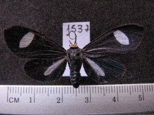 (Arctiinae sp. JAT02 - MMZ1071)  @13 [ ] CreativeCommons - Attribution Non-Commercial (2012) Mauricio M. Zenker UFPR