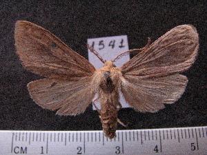 (Arctiinae sp. JAT15 - MMZ1256)  @13 [ ] CreativeCommons - Attribution Non-Commercial (2012) Mauricio M. Zenker UFPR