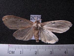 (Arctiinae sp. JAT12 - MMZ1210)  @12 [ ] CreativeCommons - Attribution Non-Commercial (2012) Mauricio M. Zenker UFPR