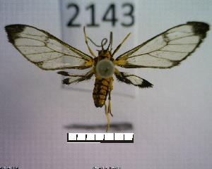 (Arctiinae sp. JAT10 - MMZ1050)  @13 [ ] CreativeCommons - Attribution Non-Commercial (2012) Mauricio M. Zenker UFPR