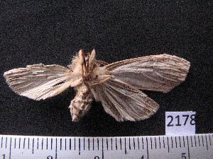 (Arctiinae sp. JAT04 - MMZ1288)  @12 [ ] CreativeCommons - Attribution Non-Commercial (2012) Mauricio M. Zenker UFPR
