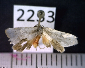 (Arctiinae sp. JAT17 - MMZ1310)  @12 [ ] CreativeCommons - Attribution Non-Commercial (2012) Mauricio M. Zenker UFPR