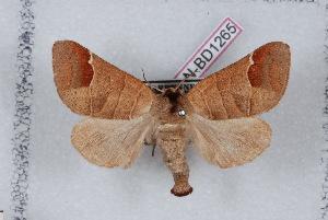 (Clostera curtula - LN-BD1265)  @14 [ ] Copyright (2011) Bernard Dardenne Research Collection of Bernard Dardenne