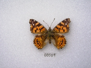 "( - MACN-Bar-Lep-ct 00009)  @12 [ ] Copyright (2011) MACN Museo Argentino de Ciencias Naturales ""Bernardino Rivadavia"""