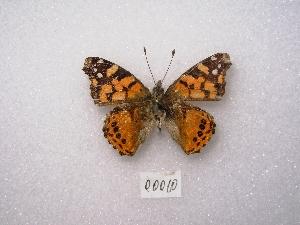 "( - MACN-Bar-Lep-ct 00010)  @12 [ ] Copyright (2011) MACN Museo Argentino de Ciencias Naturales ""Bernardino Rivadavia"""
