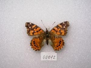 "( - MACN-Bar-Lep-ct 00012)  @12 [ ] Copyright (2011) MACN Museo Argentino de Ciencias Naturales ""Bernardino Rivadavia"""