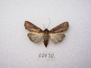 "( - MACN-Bar-Lep-ct 00030)  @14 [ ] Copyright (2011) MACN Museo Argentino de Ciencias Naturales ""Bernardino Rivadavia"""