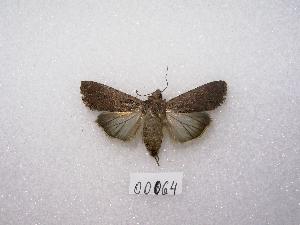 "( - MACN-Bar-Lep-ct 00064)  @14 [ ] Copyright (2011) MACN Museo Argentino de Ciencias Naturales ""Bernardino Rivadavia"""