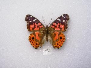 (Vanessa braziliensis - MACN-Bar-Lep-ct 00162)  @13 [ ] Copyright (2011) MACN Museo Argentino de Ciencias Naturales