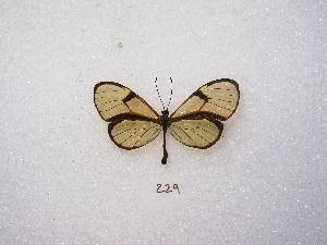 (Episcada - MACN-Bar-Lep-ct 00229)  @13 [ ] Copyright (2011) MACN Museo Argentino de Ciencias Naturales