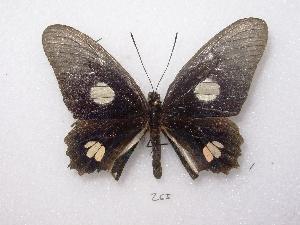 (Parides anchises - MACN-Bar-Lep-ct 00265)  @12 [ ] Copyright (2011) MACN Museo Argentino de Ciencias Naturales