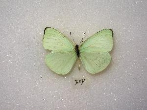( - MACN-Bar-Lep-ct 00359)  @14 [ ] Copyright (2011) MACN Museo Argentino de Ciencias Naturales