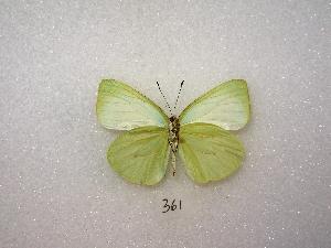 ( - MACN-Bar-Lep-ct 00361)  @14 [ ] Copyright (2011) MACN Museo Argentino de Ciencias Naturales