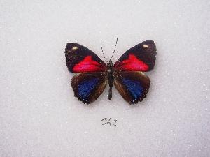 (Paulogramma - MACN-Bar-Lep-ct 00542)  @13 [ ] Copyright (2011) MACN Museo Argentino de Ciencias Naturales