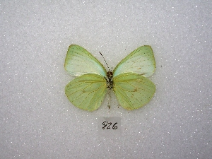 ( - MACN-Bar-Lep-ct 00826)  @14 [ ] Copyright (2011) MACN Museo Argentino de Ciencias Naturales