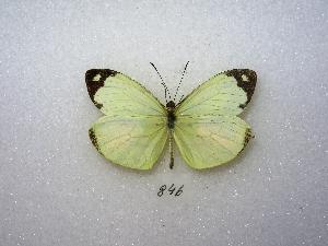 (Enantia lina - MACN-Bar-Lep-ct 00846)  @15 [ ] Copyright (2011) MACN Museo Argentino de Ciencias Naturales