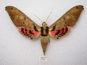 (Adhemarius daphne - MACN-Bar-Lep-ct 00961)  @15 [ ] Copyright (2011) MACN Museo Argentino de Ciencias Naturales