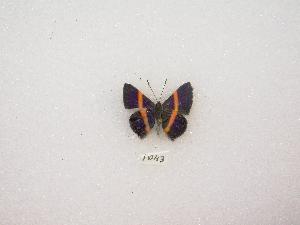 (Parcella - MACN-Bar-Lep-ct 01043)  @13 [ ] Copyright (2011) MACN Museo Argentino de Ciencias Naturales