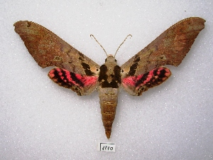 (Adhemarius gannascus - MACN-Bar-Lep-ct 01110)  @15 [ ] Copyright (2011) MACN Museo Argentino de Ciencias Naturales