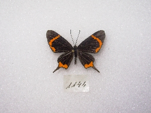 (Barbicornis - MACN-Bar-Lep-ct 01144)  @13 [ ] Copyright (2011) MACN Museo Argentino de Ciencias Naturales
