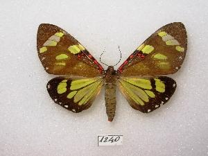 (Arctiini - MACN-Bar-Lep-ct 01240)  @16 [ ] Copyright (2011) MACN Museo Argentino de Ciencias Naturales