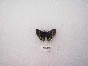 "(Chalodeta - MACN-Bar-Lep-ct 01309)  @13 [ ] Copyright (2011) MACN Museo Argentino de Ciencias Naturales ""Bernardino Rivadavia"""