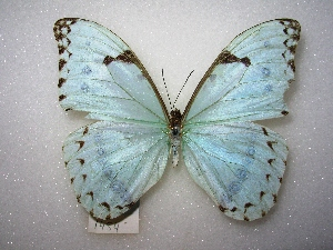 (Morpho epistrophus - MACN-Bar-Lep-ct 01454)  @14 [ ] Copyright (2011) MACN Museo Argentino de Ciencias Naturales