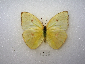 ( - MACN-Bar-Lep-ct 01538)  @15 [ ] Copyright (2011) MACN Museo Argentino de Ciencias Naturales