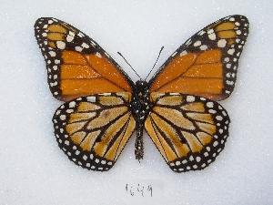 ( - MACN-Bar-Lep-ct 01649)  @14 [ ] Copyright (2011) MACN Museo Argentino de Ciencias Naturales