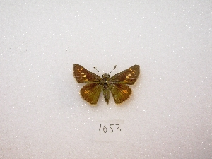 ( - MACN-Bar-Lep-ct 01653)  @13 [ ] Copyright (2011) MACN Museo Argentino de Ciencias Naturales