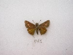 ( - MACN-Bar-Lep-ct 01715)  @13 [ ] Copyright (2011) MACN Museo Argentino de Ciencias Naturales