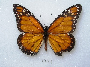 ( - MACN-Bar-Lep-ct 01731)  @13 [ ] Copyright (2011) MACN Museo Argentino de Ciencias Naturales