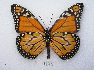 ( - MACN-Bar-Lep-ct 01843)  @13 [ ] Copyright (2011) MACN Museo Argentino de Ciencias Naturales
