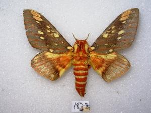 (Citheronia brissotii - MACN-Bar-Lep-ct 01872)  @15 [ ] Copyright (2011) MACN Museo Argentino de Ciencias Naturales