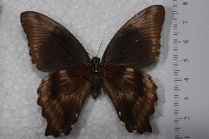 (Papilio nireus lyaeus - TvW0022)  @12 [ ] No Rights Reserved  Unspecified Unspecified