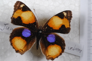 (Junonia hierta cebrene - TvW0026)  @11 [ ] No Rights Reserved  Unspecified Unspecified