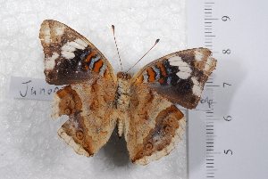 (Junonia oenone oenone - TvW0040)  @11 [ ] No Rights Reserved  Unspecified Unspecified
