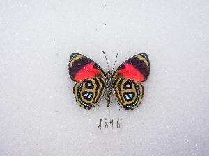 (Paulogramma - MACN-Bar-Lep-ct 01896)  @13 [ ] Copyright (2011) MACN Museo Argentino de Ciencias Naturales