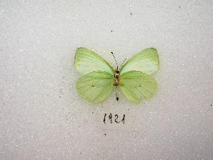 ( - MACN-Bar-Lep-ct 01921)  @14 [ ] Copyright (2011) MACN Museo Argentino de Ciencias Naturales