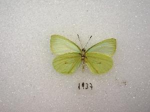 ( - MACN-Bar-Lep-ct 01937)  @14 [ ] Copyright (2011) MACN Museo Argentino de Ciencias Naturales