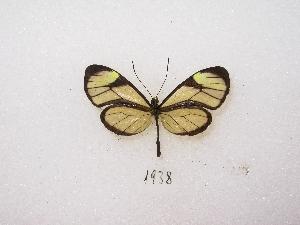 (Mcclungia - MACN-Bar-Lep-ct 01938)  @13 [ ] Copyright (2011) MACN Museo Argentino de Ciencias Naturales
