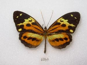 ( - MACN-Bar-Lep-ct 02347)  @14 [ ] Copyright (2011) MACN Museo Argentino de Ciencias Naturales
