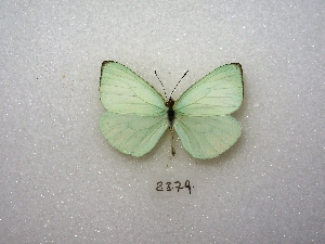 ( - MACN-Bar-Lep-ct 02379)  @14 [ ] Copyright (2011) MACN Museo Argentino de Ciencias Naturales