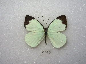 (Leptophobia aripa - MACN-Bar-Lep-ct 02390)  @15 [ ] Copyright (2011) MACN Museo Argentino de Ciencias Naturales