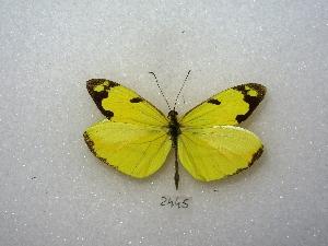 (Enantia clarissa - MACN-Bar-Lep-ct 02445)  @14 [ ] Copyright (2011) MACN Museo Argentino de Ciencias Naturales