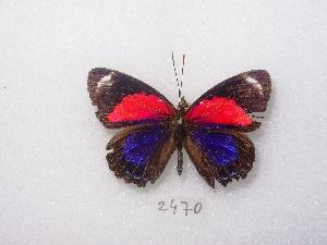 (Paulogramma - MACN-Bar-Lep-ct 02470)  @13 [ ] Copyright (2011) MACN Museo Argentino de Ciencias Naturales