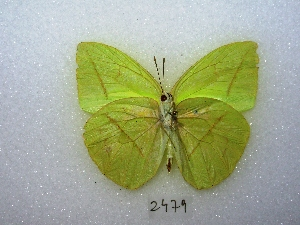(Rhabdodryas - MACN-Bar-Lep-ct 02479)  @15 [ ] Copyright (2011) MACN Museo Argentino de Ciencias Naturales