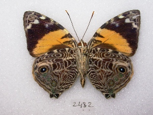 (Smyrna - MACN-Bar-Lep-ct 02482)  @15 [ ] Copyright (2011) MACN Museo Argentino de Ciencias Naturales