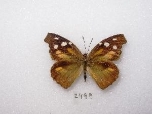 ( - MACN-Bar-Lep-ct 02499)  @13 [ ] Copyright (2011) MACN Museo Argentino de Ciencias Naturales